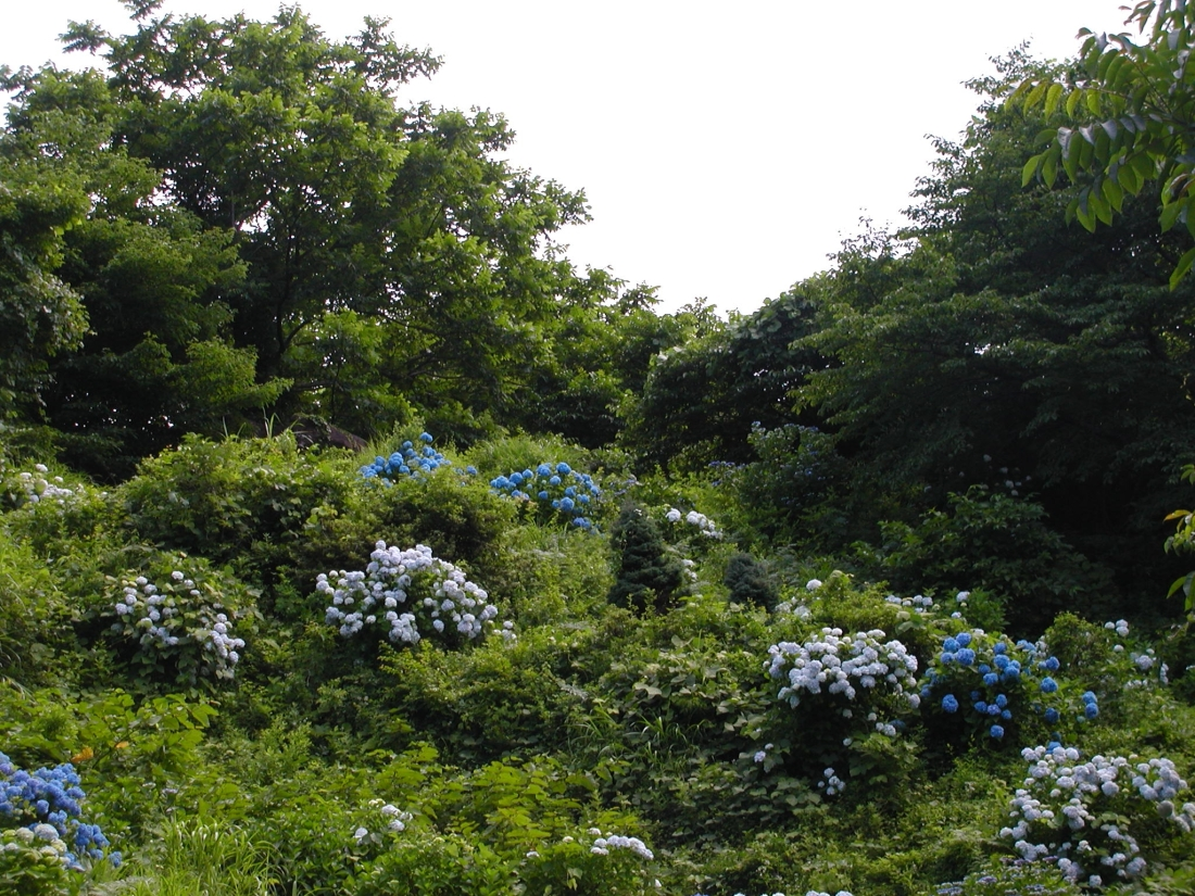 AIUハイク・紫陽花スロープ(21) 023