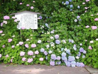 AIUハイク・紫陽花スロープ(21) 044